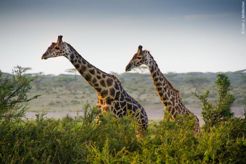 Voyage avec des animaux Tanzanie : Safari dans les grands parcs